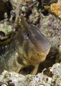 Montagu's blenny. Trefor pier. D3, 2XTC, 60mm. Woody's. by Derek Haslam 